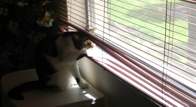 Cat looking through aluminum blinds in Charlotte.
