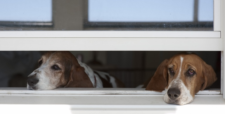Beagles look out open window with no window covering in Charlotte.